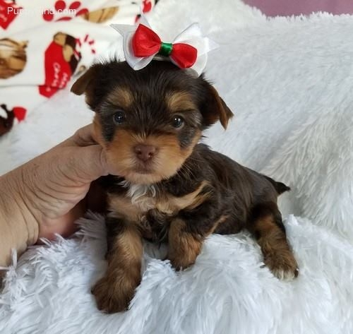 *We have aTeacup yorkie  who needs a great home Text 7185689815